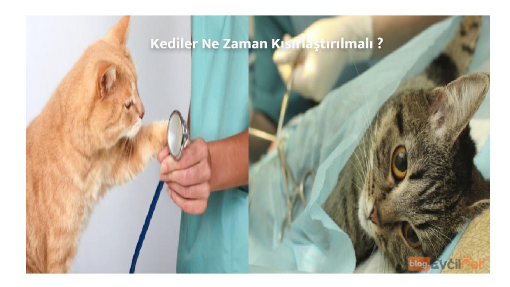 Kediler Ne Zaman Kısırlaştırılmalıdır ?