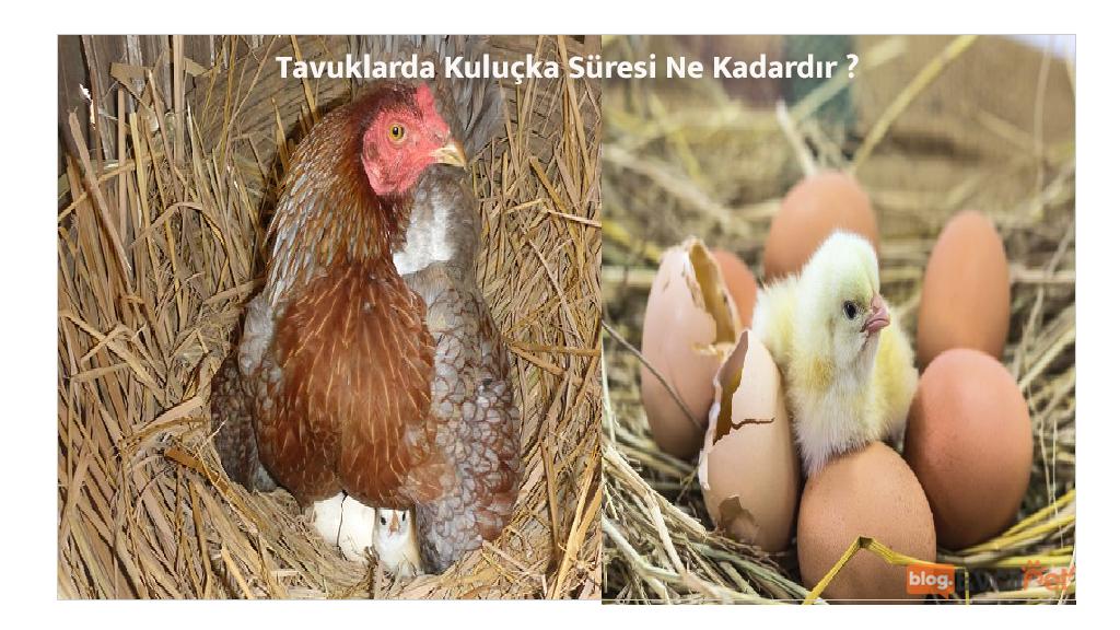 Tavuklarda Kuluçka SüresiNe Kadardır?