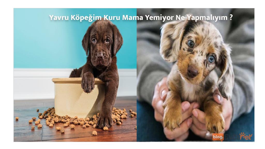 Yavru Köpeğim Kuru Mama Yemiyor Ne Yapmalıyım ?